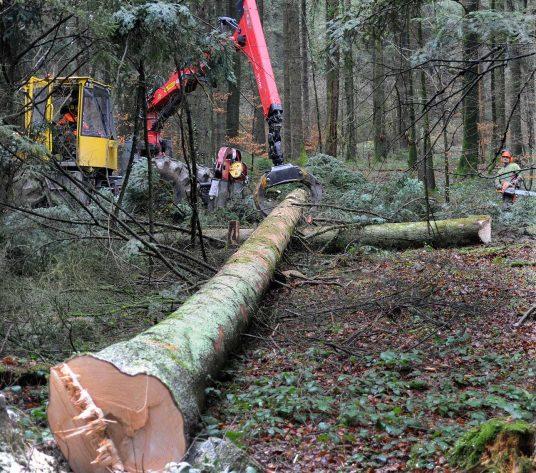 KSB-Neubau: Eine gefällte Weisstanne liegt im Wald