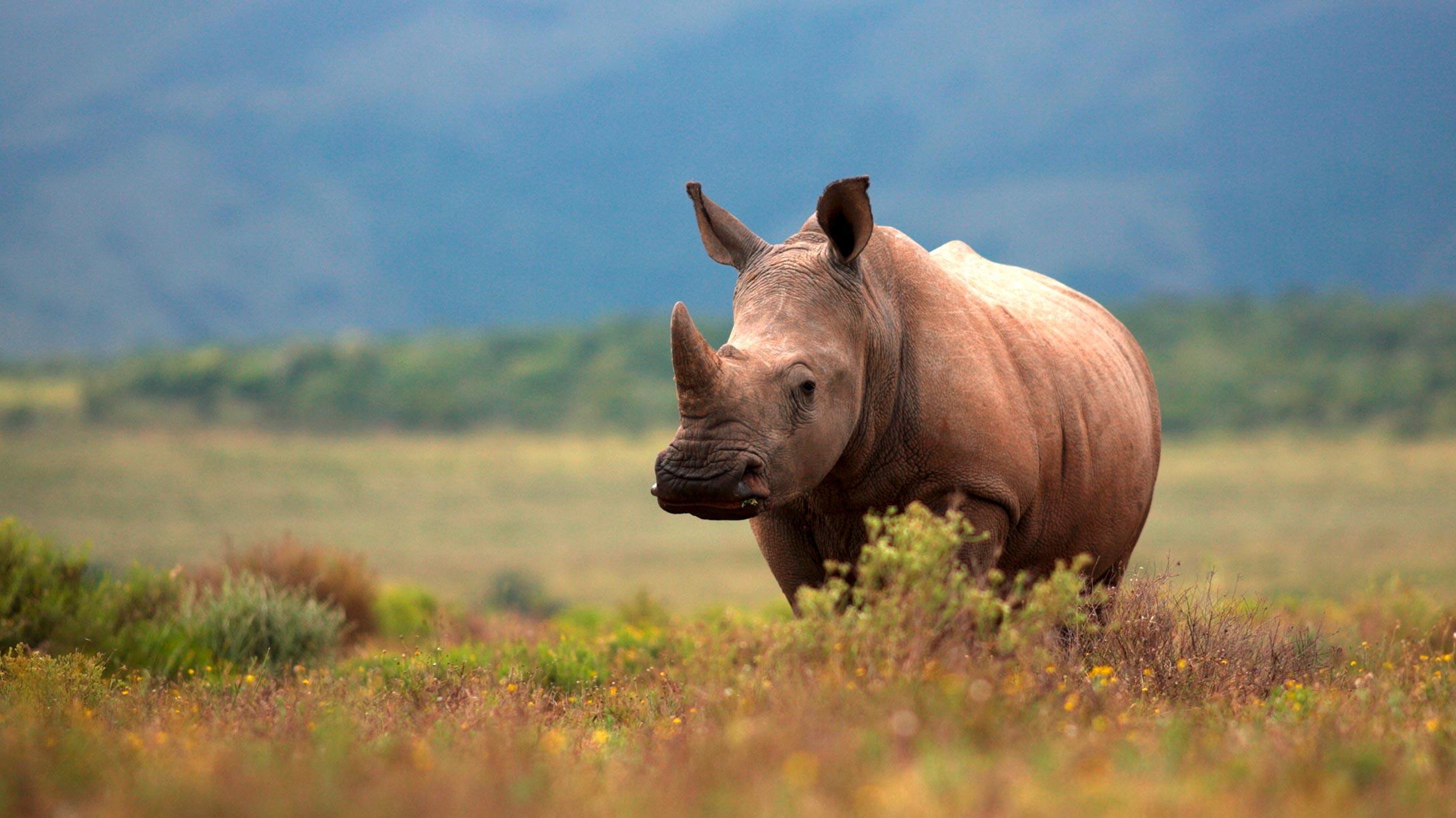 Ein Nashorn